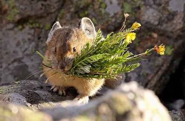 Мышь сеноставка с травами
