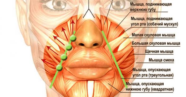 Мышцы носогубной области