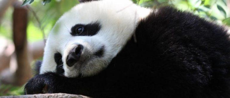 Панда с чёрными кругами вокруг глаз