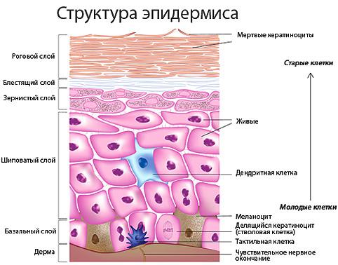Эпидермис человека