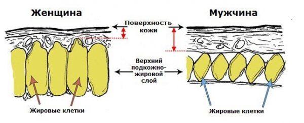 Расположение жировых клеток у мужчины и женщины