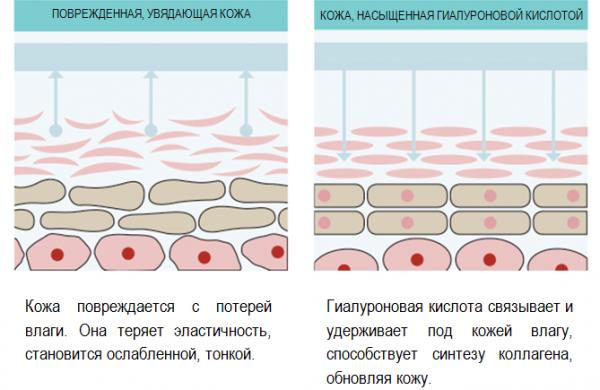 Структура кожи при разном содержании гиалуроновой кислоты