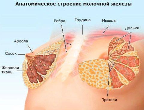 Анатомическое строение молочных желез