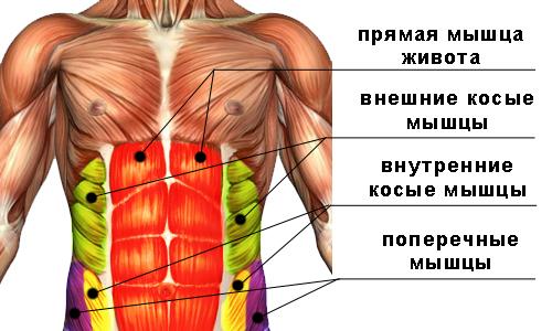 Схема: мышцы живота