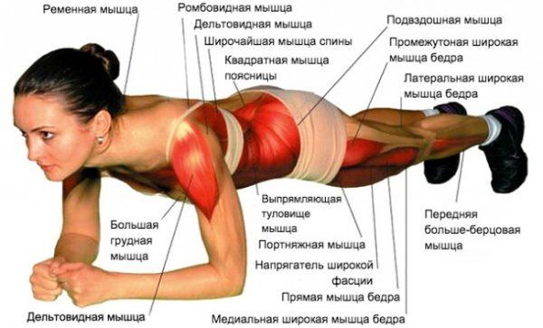 Схема мышц, работающих в стойке планка