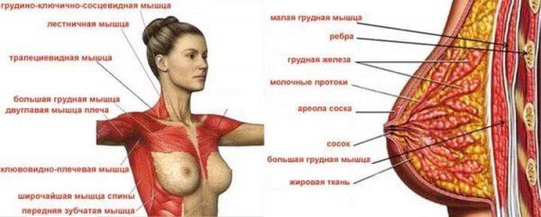 Схема: мышцы, поддерживающие женскую грудь
