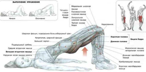 Схема: работа мышц при подъёме таза