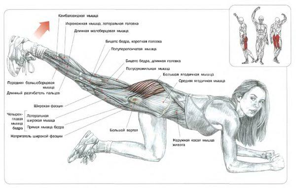 Схема: работа мышц при упражнении махи ногой назад