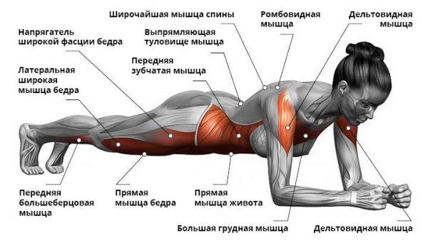 Схема: работа мышц при классической планке