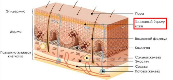 Структура эпидермиса