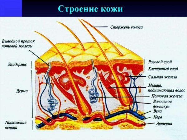 Cхематическое изображение строения кожи